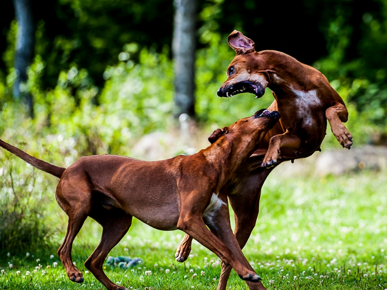 mother_and_son_rhodesian_ridgeback_II